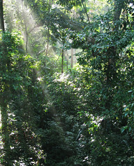 Dawn in the Canopy (icelight) Tags: trees light brazil sunlight peru nature forest dawn amazon jungle canopy sunbeam tambopata