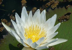 waterlily003
