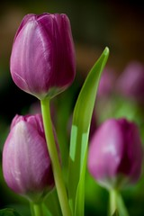 Tulips*  A Gift for You! (Jae's pics~) Tags: flowers love leaf stem friendship tulips gift soe canoneos5d canonef100mmf28macrousm