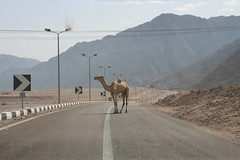 camel crossing - nuweiba
