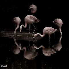 the dance (Heilah Alnasser) Tags: birds reflections zoo nikon bravo flamingo nikond100 explore heilah