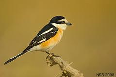 (N-S-S) Tags: bird birds nikon sigma kuwait nikkor  800 nasser  nss    vwc       kvwc    alsolihem