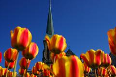 Ottawa Tulips (Fernando Farfan.ca) Tags: flowers colors festival spring amazing intense tulips ottawa beatifulcapture