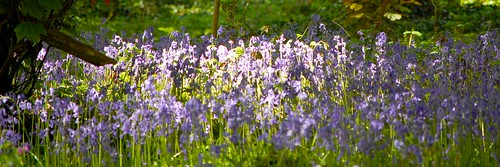 English bluebells in dappled woodland light
