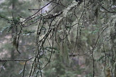 Hanging moss (tiddlywinker) Tags: trees moss canadianrockies johnstoncanyon