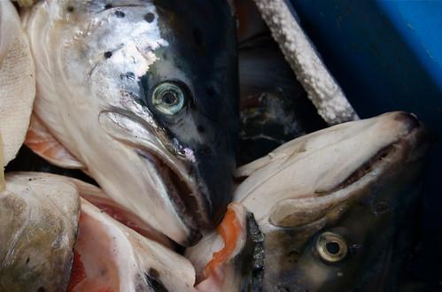 Salmon heads 1