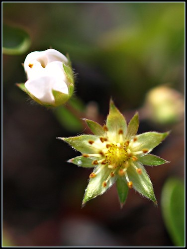 Small-Flowered Crowfoot