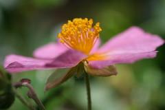 Sonnenrschen (ivlys) Tags: flowers macro nature spring blumen platinumphoto ysplix flowerwatcher ivlys macroflowerslover
