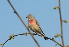 Carduelis cannabina mâle, la linotte mélodieuse. (chug14) Tags: animalia aves oiseau fringillidae fringillidés linotte linottemélodieuse marsoleau cardueliscannabina