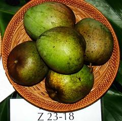 Mango  #375: Z23-18 (3Point141) Tags: 3point141 mango mangiferaindica mamuang mangga mangifera florida usa fairchildtropicalbotanicgarden fairchildfarm homestead coralgables z2318 mangofestival 2012