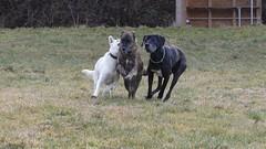 Rudel-Action (woodsham) Tags: hunde dogs bardino dogge schäferhund