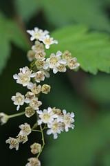 泉の森(泉の森緑地)のコゴメウツギ(Flower, Izuminomori park, Yamato, Kanagawa, Japan)