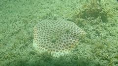 圖. 3 台灣擬絲珊瑚