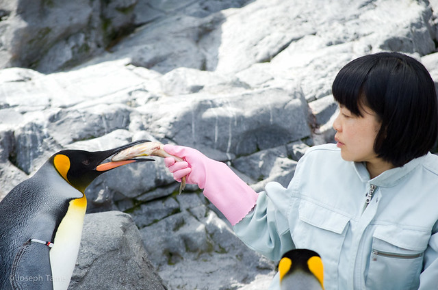 asahiyama_zoo-penguins _5910