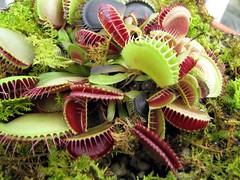 Create A Terrarium For Carnivorous Plants The Gardener S Rake