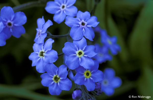 forget-me-not6