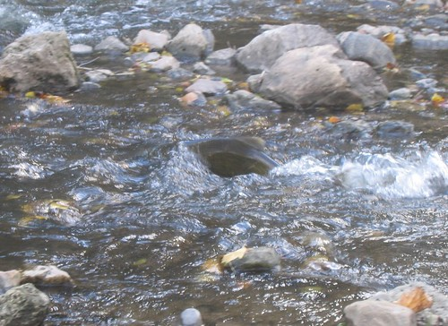 Salmon in rapids 1