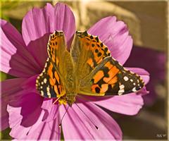 Mariposa (javilon) Tags: naturaleza macro olympus mariposa e510 sigma105 uro sigma105mm
