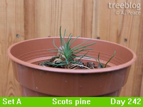 Scots pine gamma (Day 242)