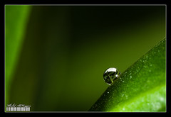 Inside a drop (Khalid AlHaqqan) Tags: macro tree nature water leaves canon lite leaf flash twin drop 100mm canon100mmf28macro khalid f28 ef q8 mt24ex vwc kuwson alhaqqan kuwaitvoluntaryworkcenter مركزالعملالتطوعي canonmt24exmacrotwinliteflash
