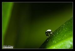 Inside a drop (Khalid AlHaqqan) Tags: macro tree nature water leaves canon lite leaf flash twin drop 100mm canon100mmf28macro khalid f28 ef q8 mt24ex vwc kuwson alhaqqan kuwaitvoluntaryworkcenter  canonmt24exmacrotwinliteflash