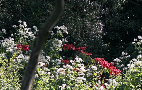 poinsettia and flowers nandi hills