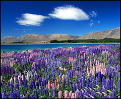 More lupins (Daniel Murray (southnz)) Tags: pictures newzealand mountain lake snow flower water landscape scenery russell no nz southisland lupin tekapo limits mywinners southnz