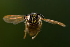 wasp (carl_laban) Tags: closeup out extensiontube in2 sb800 out2 in4 in1 in10 300mmf4d in3 in6 in8 in5 in9 pn11 in7