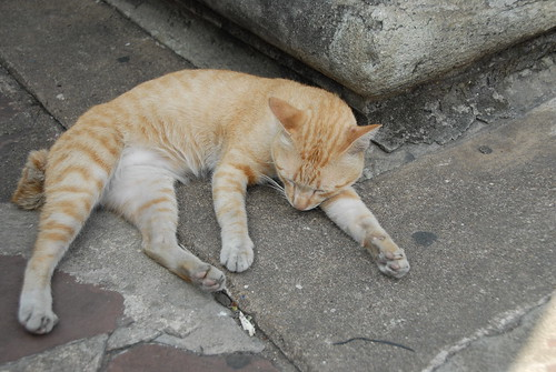 Thailand, Bangkok, temple cat at Wat Po
