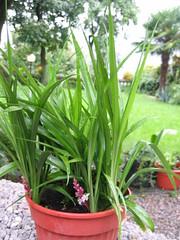 Reineckea carnea (diemmarig) Tags: lucky bamboo fiore flower reineckeacarnea