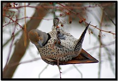 Flicker hanging around on Flickr...how ironic! (Carplips) Tags: tree bird feet berries feathers eat spots spotted hang flicker northernflicker colaptesauratus aplusphoto