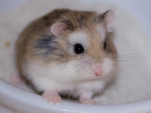 Roborovski dwarf hamster? (aka robo hamster )? | Yahoo Answers