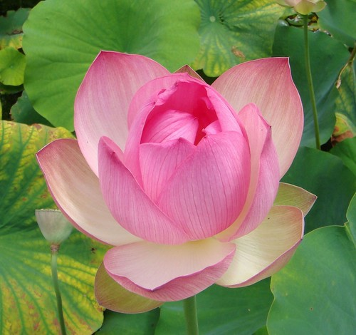 Xi'an Easter, Lotus from Stellenbosch, South Africa