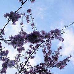 Parc de Maulévrier - Cerisier sur ciel