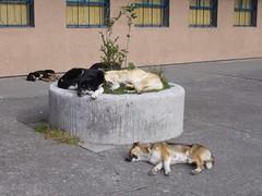 Puerto Montt - chiens