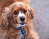 Henry (kadima) Tags: portrait dog pet cute puppy canine spaniel cocker pup dogpark pooch cockerspaniel k9 petportrait dogportrait winnemacpark abigfave thelittledoglaughed flickrlovers