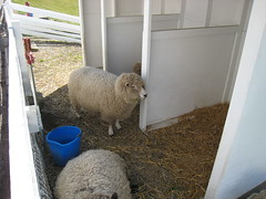 Kelsey Creek Farm Sheep