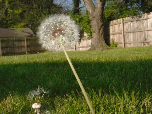 Backyard Dandelion Seedhead