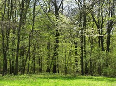 Spring greens (:Linda:) Tags: tree green germany town thringen spring woods village jena thuringia grn baum frhling beechtree buche thuringian frhjahr cospeda treesinspring jenacospeda picturewithmusic bumeimfrhling baumimfrhling