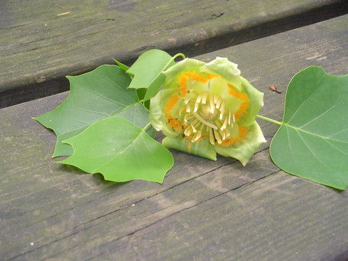 Tulip Poplar Leaves and Flower