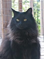 Wide eyed and bushy tailed (Shamey Jo) Tags: seattle rescue pet cats animal cat blackcat washington feline dizzy seattlepets desmondclyde
