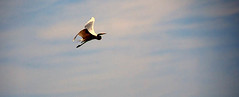 Giant Egret12 (shrosa814 (returning soon)) Tags: statepark illinois dslr egret showingoff morainehillsstatepark d80 nikond80 giantegret flyingegret mchenryil