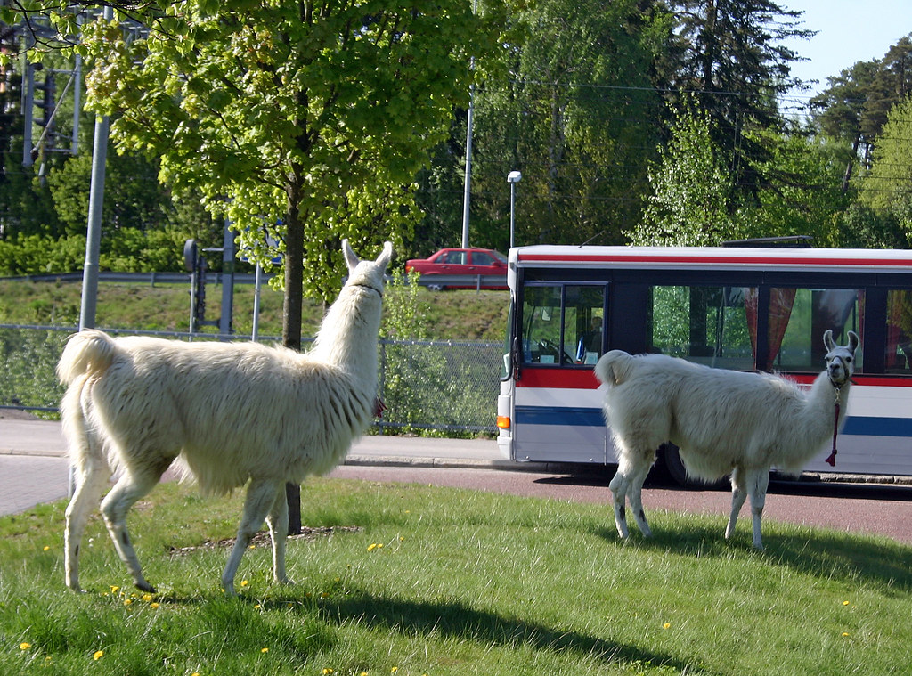 Llamas on the Run!