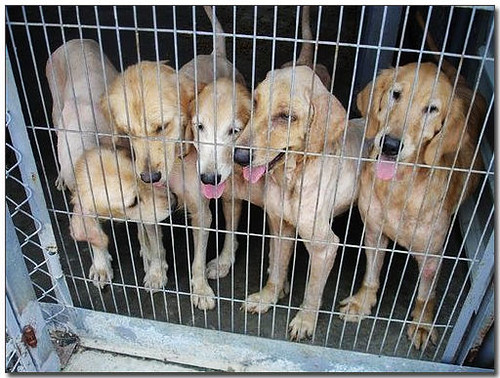 2007-07-12-「認養」嘉義被繁殖場丟棄的10多隻黃金獵犬~你還想買黃金寶寶喔?他們的父母就是長這樣!這樣的寶寶會健康?別再買狗了...