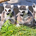 Lemurs Eating Meat Three Lemurs Eating