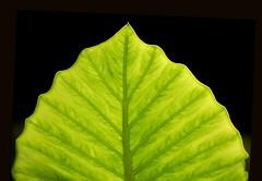 l'albero della vita (iana) Tags: verde green foglia controluce alocasia sleave digitalcameraclub