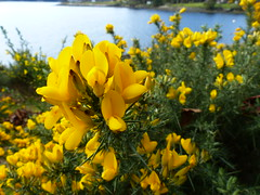 Bellhouse Provincial Park (meanderyng) Tags: nature britishcolumbia pacificnorthwest galianoisland bellhouse provincialpark gorse stechginster