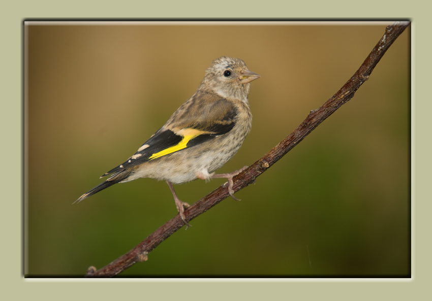 "Goldfinch ""Greypate"""