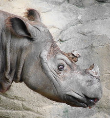 Sumatran Rhino named Emi