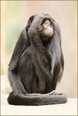 Lost.. (hvhe1) Tags: holland nature animal lost monkey wildlife thenetherlands captive desperation primate dier apenheul aap slingeraap kwatta specanimal hvhe1 hennievanheerden bosduivel atelesfuscicepsrufiventris colombianblackspidermonkey spinaap